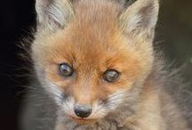 Foxes! / I loove foxes! What does the fox say? (<- yep that just happened). I totally wish i have a pet fox! Dear Santa: Get me a FOXX!