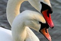 Swan / Swans have an elegant beauty in all forms - Real or Imagined - Black or White - Mute or Whooper