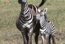 zwierzęta/animals / Pawian w Tanzanii /baboon in Tanzania/