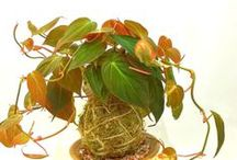 Kokedama Plants / Moss ball hanging plants
