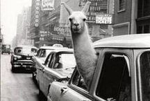 Llama Laughs / Because Llamas are awesome...and funny! #travel #funny