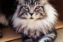 Mainecoon Cats