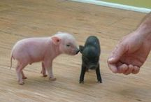 Piggie's ♡ / Cute little Piggies ♡