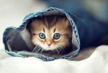 ღ Cats & Kittens ღ / I have a beautiful Ragdoll and she's the most pretty kitty ever, but I still think these are cute :)