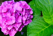 Stunning Hydrangeas / Pictures of our hydrangea varieties, available year-round!