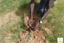 Projet GRANDE MURAILLE VERTE - Périple Sénégal 2012 / Projet GRANDE MURAILLE VERTE - Replantation de Dattiers au Sénégal -