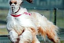 AFGHAN HOUND [afgánsky chrt] / The most beautiful breed under the sun and my lifelong love.