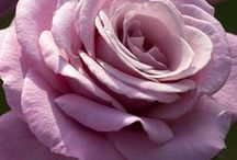 ROSES [ruže] / Rosies