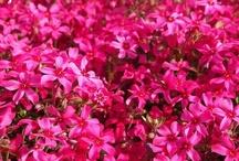 ♥Vivid Pink♥ / http://ameblo.jp/izumin827/