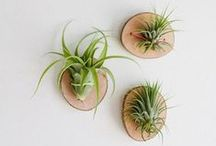 Air Plants & Succulents - the perfect houseplants / We love air plants and succulents! A green thumb is not necessary for these beauties and they are so modern and unique. Air plants are always available in our shop.
