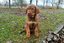 Mydog / #8 weeks #vizslamix