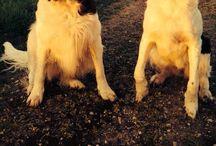Love them dogs. / Onze Drentsche Patrijshonden.