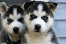 For my lil huskies