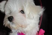 Ashley's & Mya's Posh Pet Boutique /  Ashley was our Bichon Frise' and Mya is our Maltese puppy  / by Lindsey Curtis