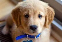 Golden Dog :3 <3
