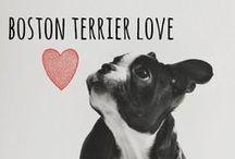 breed love ♥ boston terrier / #bostonterrier