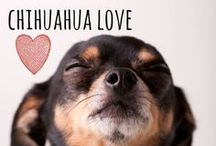 breed love ♥ chihuahua / #chihuahua