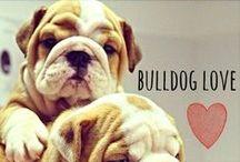 breed love ♥ bulldog / #bulldog