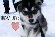 breed love ♥ husky / #husky #huskies