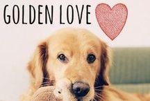 breed love ♥ golden retriever / #golden #goldenretriever
