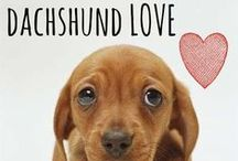 breed love ♥ dachshund / #dachshund #doxie