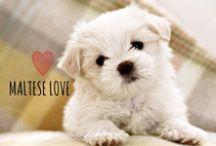 breed love ♥ maltese / #maltese
