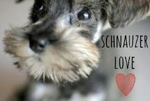 breed love ♥ schnauzer / #schnauzer