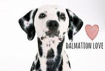 breed love ♥ dalmatian / #dalmatian