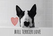 breed love ♥ bull terrier / #bullterrier