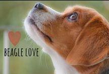 breed love ♥ beagle / #beagle