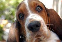breed love ♥ basset hound / #bassethound