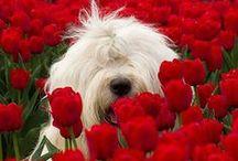 breed love ♥ english sheepdog / #sheepdog #oldenglishsheepdog