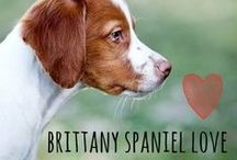 breed love ♥ brittany spaniel / #brittany #brittanyspaniel