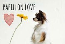 breed love ♥ papillon / #papillon