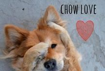 breed love ♥ chow chow / #chow #chowchow