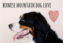 breed love ♥ bernese mountain dog / #bernese #bernesemountaindog