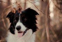 breed love ♥ border collie / #bordercollie #collie