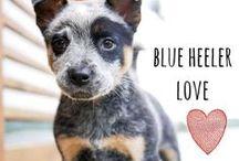 breed love ♥ blue heeler / #heeler #blueheeler #australiancattledog #dogs #breeds