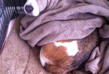 BeagLE ❥❥ / Honden Beagle, Dogs