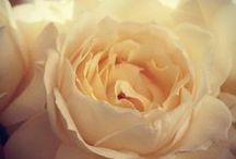 We ♥ Yves Piaget Roses / amazing roses, amazing scent