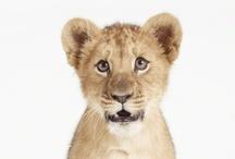 baby lion / i need one ♥