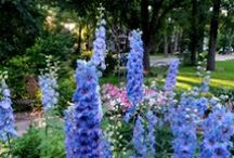 Graceful Gardens Delphiniums / Delphiniums make the cottage garden truly splendid!  Every year we are astonished by their regal colors and elegant stature. They come in an array of beautiful colors but are most famous for their astounding blue shades.