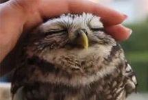 Owls / Buhos / Owls, buhos.