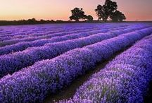 a lavender smell