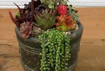 Takløk og sukkulenter / Sukkulenter og takløk er det samme for meg, bare en brukes ute og den andre inne. Her er flotte sammenplantinger og enkle planter planter på flotte måter.