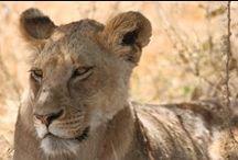 Wild Tanzania / Serengeti, Ngorongoro Crater, Lake Manyara, Arusha or Tarangire national park - wildlife in Tanzania is so beautiful and rich in species - it`s so overwhelming!