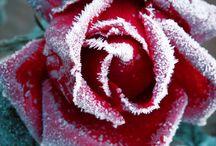 Roses - my fav!