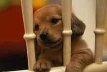 DAS puppies <3 / by Sarah Lurry