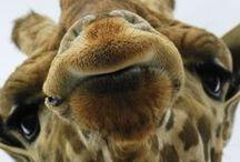 Giraffe's / by Vicky Mcguire