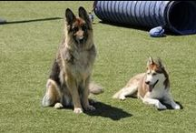 Pet Grass / Our synthetic turf is perfect for pets! Look how much these dogs are loving it.